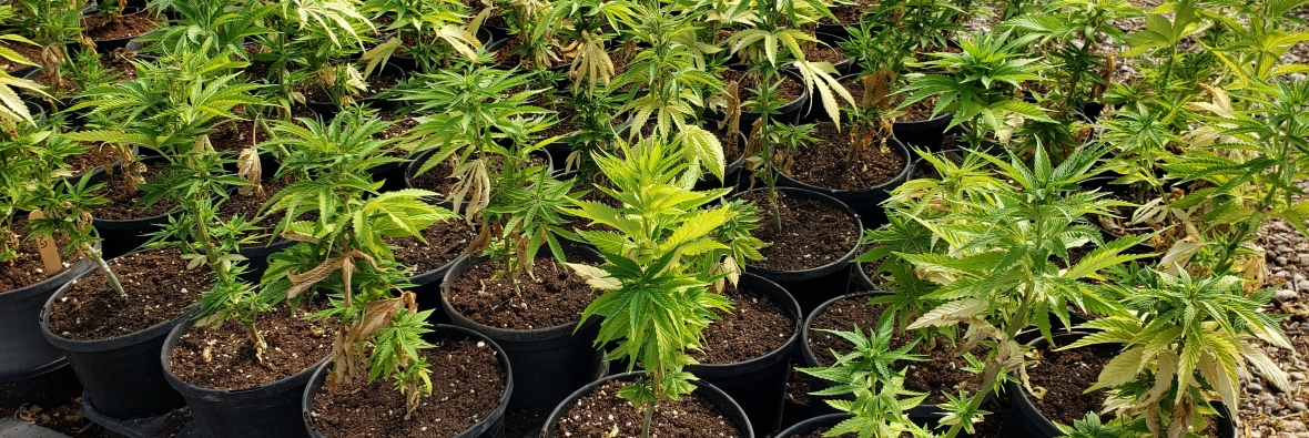 potted industrial hemp plants